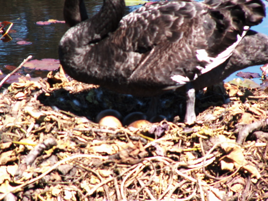 Swan Eggs in Commonwealth Park