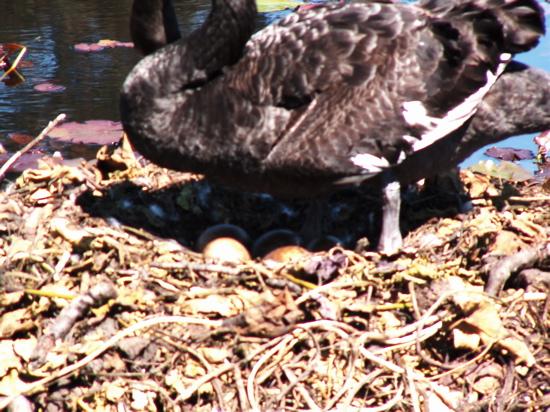 Swan Eggs in Commonwealth Park