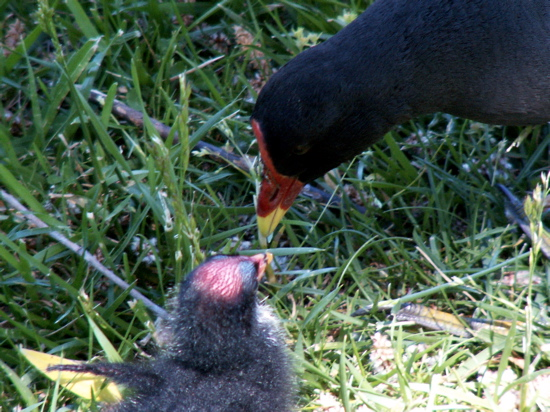 Purple Swamp Hen Mother and Chick