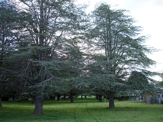 Threatened Goodwin Trees Of Ainslie