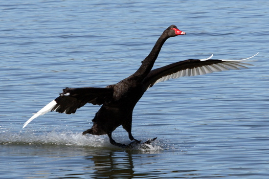 Black Swan landing at Bowen Park