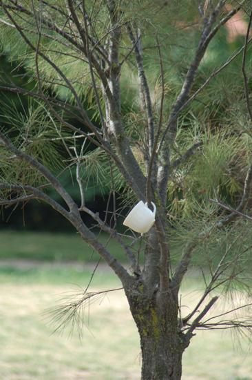 Teacup tree